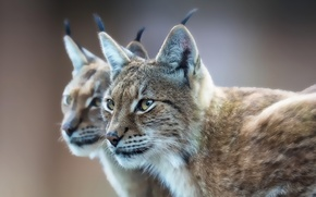 Picture look, reflection, predator, lynx, Eurasian lynx