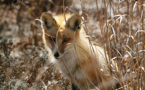Picture nature, spring, Fox