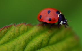 Picture macro, leaf, ladybug, insect, Wallpaper from lolita777