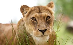 Picture animals, predator, Leo, lioness, animals, lion, predator