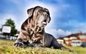 Picture dog, dog, Cane Corso