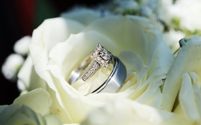 Picture flowers, wedding, ring, roses, white
