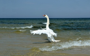 Picture SEA, WHITE, HORIZON, The SKY, WINGS, SURF, WAVE, SHORE, FEATHERS, SWAN, STROKE, ROLL, NECK