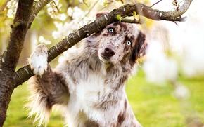 Picture eyes, pose, tree, dog, branch, spring, Australian shepherd, Aussie