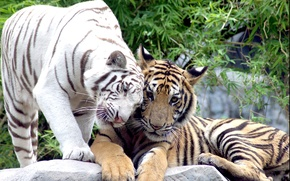 Picture cats, pair, tigers, white tiger