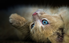 Picture cat, eyes, look, close-up, pose, kitty, red, muzzle, lies, view, blue-eyed