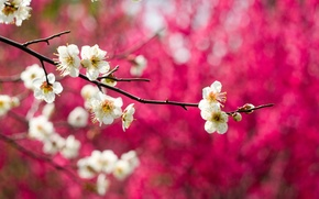 Picture macro, flowers, nature, tree, branch, spring, white, flowering, drain