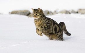 Picture cat, snow, jumping
