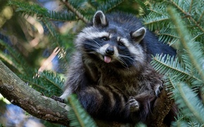 Picture nature, tree, raccoon