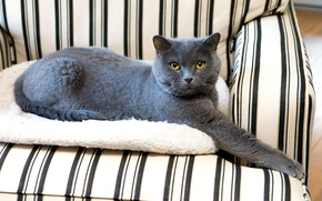 Picture cat, cat, look, pose, grey, background, chair, striped, British, smoky, collapsed, yellow eyes