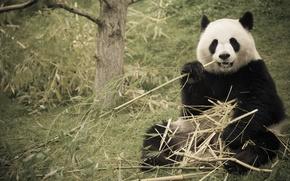 Picture nature, bamboo, Panda