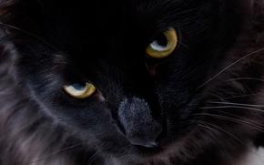 Picture cat, eyes, look, black cat