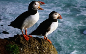 Picture sea, birds, stones, color, beak, stalled