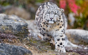Picture autumn, cats, stones, paw, snow leopard, bars, wild cats, zoo, sneaks