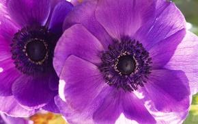 Wallpaper flowers, macro, petals, two, Maki, flower, purple