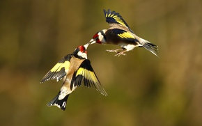 Picture birds, two, in flight, goldfinches