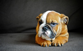 Picture dog, puppy, English bulldog