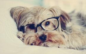 Picture look, dog, glasses