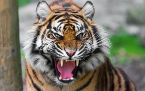 Picture tiger, predator, mouth, grin