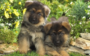 Picture puppies, kids, German shepherd, two dogs