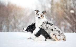 Picture dog, lies, sitting, border collie, border collie
