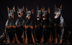 Picture puppies, brothers, Dobermans, six pieces