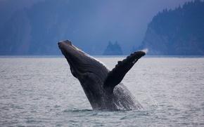 Picture Alaska, USA, mammal, humpback whale, Kenai Fjords