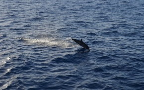 Picture animals, sea, water, dolphin, aerial