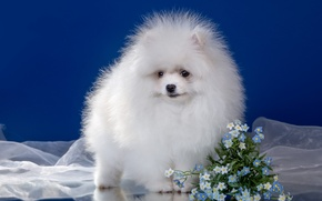 Picture white, flowers, fluffy, puppy, Spitz