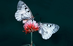 Picture moth, insect, butterfly, flower, nature