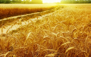 Picture road, wheat, field, the sun, rays, landscapes, spikelets, gold, Golden field