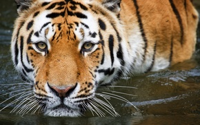 Picture water, tiger, bathing