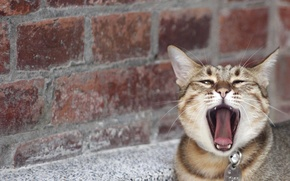Picture language, cat, cat, mustache, face, wall, brick, nose, yawns