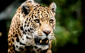 Picture look, face, predator, leopard, grin, big cat