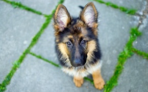 Picture look, Dog, German Shepherd