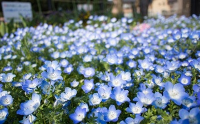 Picture flowers, blue, flowerbed, a lot