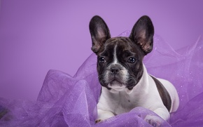 Picture spot, fabric, French bulldog