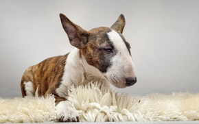Picture each, dog, bull Terrier