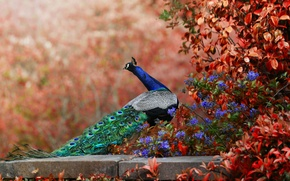 Picture bokeh, flowers, tail, peacock, bird