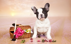 Picture flowers, puppy, French bulldog