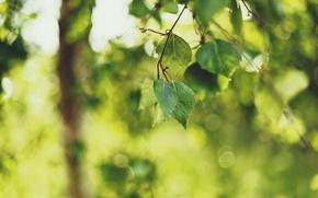 Wallpaper focus, nature, leaves, blur, bokeh, sprig, greens, birch, summer