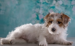 Picture portrait, girl, puppy, breed, the Sealyham Terrier