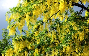 Picture PETALS, TREE, GREENS, LEAVES, FLOWERS, SPRING, BRANCHES, SUMMER, YELLOW, AWAKENING