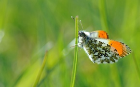 Picture greens, macro, butterfly, focus, insect, a blade of grass
