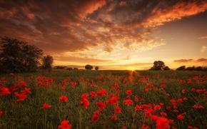 Picture field, sunset, flowers, sundown, poppies