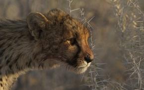 Picture plants, predator, barb, Cheetah, profile