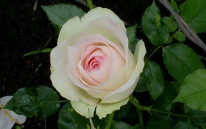 Picture flower, pink, Rose