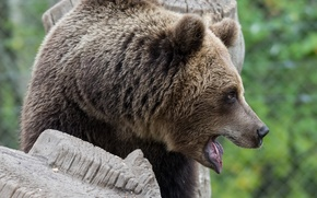 Wallpaper mouth, brown bear, face, profile