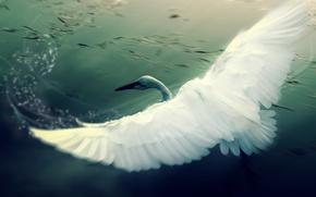 Wallpaper figure, wings, Swan