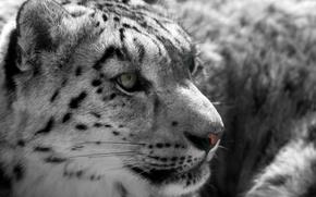 Picture face, predator, IRBIS, snow leopard, wild cat